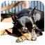Photo 1 - Miniature Pinscher Dog for adoption in Florissant, Missouri - Frankie