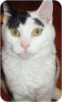 Domestic Shorthair Kitten for adoption in Kensington, Maryland - Kenny