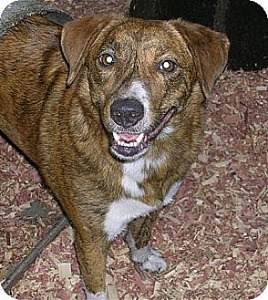 Labrador Retriever/Boxer Mix Dog for adoption in Orange Lake, Florida - Hobo