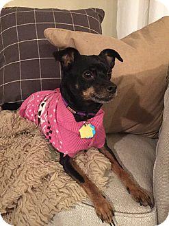 Miniature Pinscher Dog for adoption in Nashville, Tennessee - Lexus