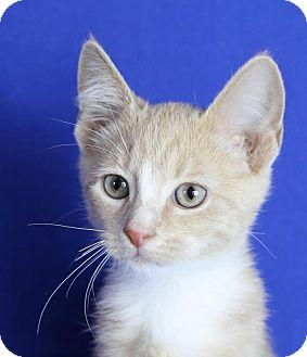 Domestic Shorthair Kitten for adoption in Winston-Salem, North Carolina - Copper