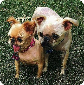 Brussels Griffon Dog for adoption in Overland, Kansas - OLIVIA & BOB - Adopted