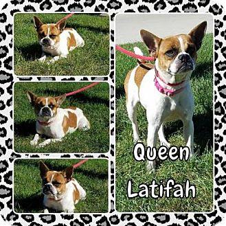 Boston Terrier Mix Dog for adoption in Plainfield, Illinois - Queen Latifa