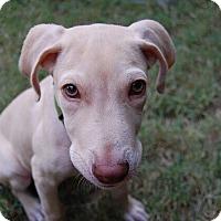 Adopt A Pet :: Apolllo - Austin, TX