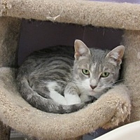 Domestic Shorthair Cat for adoption in Westbury, New York - Alexis