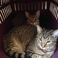 Domestic Shorthair Kitten for adoption in Oakland, California - Mimi and Baby