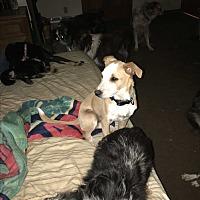 Australian Cattle Dog Mix Puppy for adoption in Parker, Kansas - Pork Chop