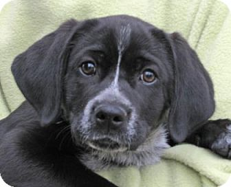Australian Cattle Dog Mix Puppy for adoption in Woodstock, Illinois - Roxie