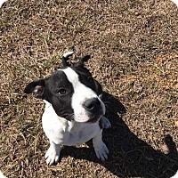Adopt A Pet :: Ollie - Montpelier, VT