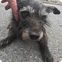 Adopt A Pet :: Skipper - Loudonville, NY
