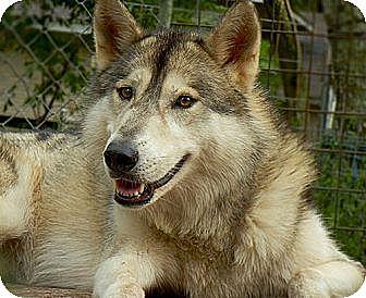 Husky/Shepherd (Unknown Type) Mix Dog for adoption in Orlando, Florida - Wolfdog - Sage