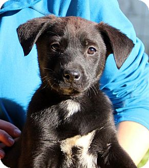 Labrador Retriever Mix Puppy for adoption in Groton, Massachusetts - Henry
