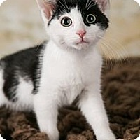Adopt A Pet :: Onyx - Eagan, MN