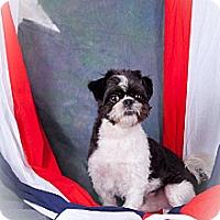 Shih Tzu Dog for adoption in Elizabethtown, Pennsylvania - Herck