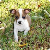 Adopt A Pet :: Nick - La Habra Heights, CA