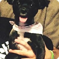 Adopt A Pet :: DJ - Houston, TX