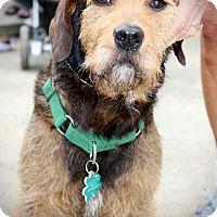 Adopt A Pet :: Brock - Alpharetta, GA