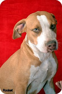 Catahoula Leopard Dog/Hound (Unknown Type) Mix Dog for adoption in Okeechobee, Florida - Rocket