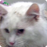 Domestic Mediumhair Cat for adoption in Wildomar, California - Bruin