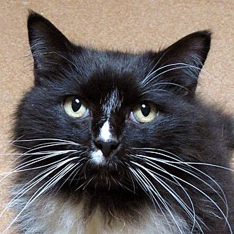 Domestic Mediumhair Cat for adoption in Norwalk, Connecticut - Sparkle
