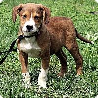 Adopt A Pet :: Jaxon - Harrisonburg, VA