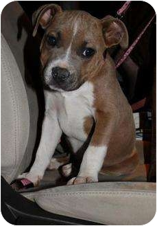 American Pit Bull Terrier Mix Puppy for adoption in Mesa, Arizona - Monkey