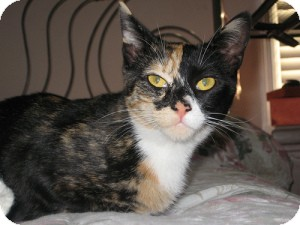 Calico Cat for adoption in bloomfield, New Jersey - Kaiya