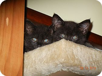 Domestic Shorthair Kitten for adoption in Southington, Connecticut - Muggles