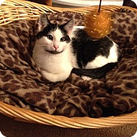 Adopt A Pet :: Piper - Mount Clemens, MI