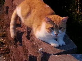 Domestic Shorthair Cat for adoption in Cincinnati, Ohio - zz 'Tom' courtesy post