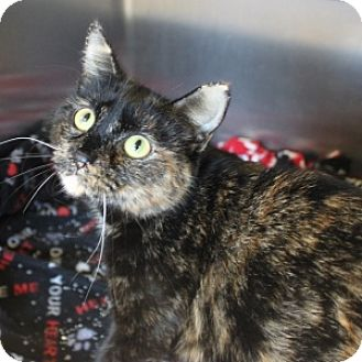 Domestic Shorthair Cat for adoption in Naperville, Illinois - Selena