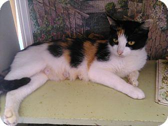 Domestic Shorthair Cat for adoption in Colbert, Georgia - Sunshine