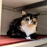 Domestic Shorthair Cat for adoption in Milwaukee, Wisconsin - Cashew