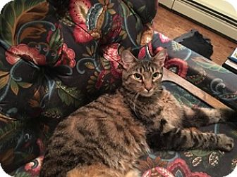 American Shorthair Cat for adoption in Brooklyn, New York - Frankie