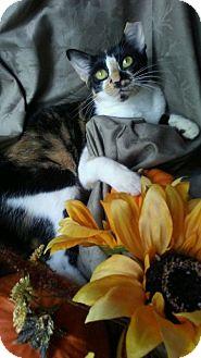 Calico Kitten for adoption in Barrington, New Jersey - Sophia