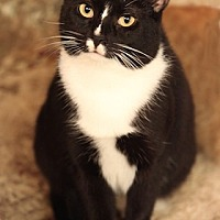 Domestic Shorthair Cat for adoption in Bronx, New York - HINKY