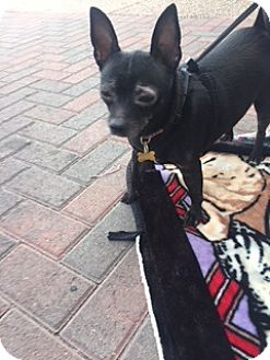 Chihuahua/Terrier (Unknown Type, Small) Mix Dog for adoption in Las Vegas, Nevada - KIKI