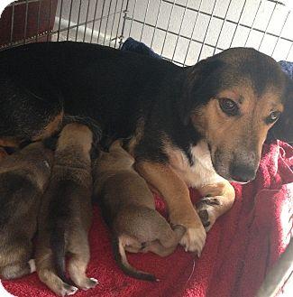 Corgi/Corgi Mix Dog for adoption in Lancaster, Ohio - JellyBean
