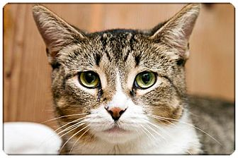 Domestic Shorthair Cat for adoption in Sterling Heights, Michigan - Lucy - ADOPTED!