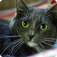 Russian Blue Cat for adoption in St. Louis, Missouri - Nautica