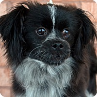 Adopt A Pet :: Dayla-Adoption pending - Bridgeton, MO