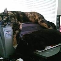 Domestic Shorthair Cat for adoption in Napa, California - Cali
