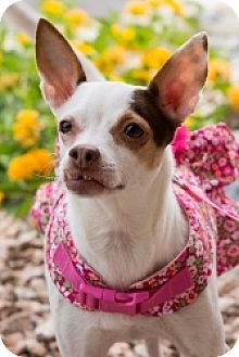 Chihuahua/Terrier (Unknown Type, Small) Mix Dog for adoption in Mesa, Arizona - Zelda