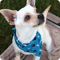 Adopt A Pet :: Captain - Seattle, WA