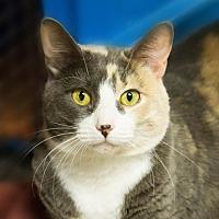 Calico Cat for adoption in Belton, Missouri - Sophie