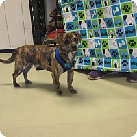 Adopt A Pet :: Brittle - Adoption Pending - Gig Harbor, WA