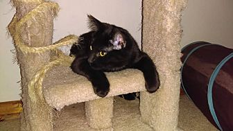 Domestic Shorthair Cat for adoption in St Paul, Minnesota - Frankie