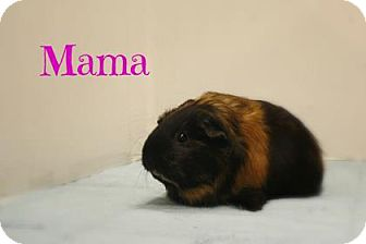 Guinea Pig for adoption in West Des Moines, Iowa - Mama