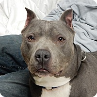 Adopt A Pet :: Blue - Long Beach, NY