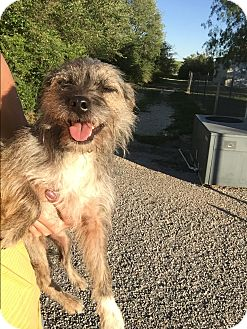 Terrier (Unknown Type, Small) Mix Dog for adoption in San Antonio, Texas - Abby